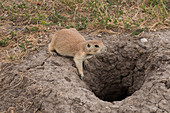Black-tailed Prairie Dog at its Burrow