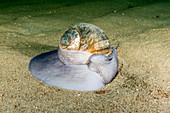 Moon Snail Digging