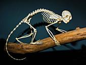 Squirrel Monkey Skeleton