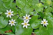 Water Snowflake flower