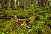 Mossy Conifer Forest
