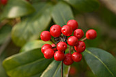 Skimmia japonica, red berries