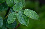 Rain drops on rose leaves