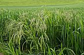 Barren brome in wheat