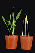 Maize seedlings with and without light