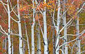 Autumn Quaking Aspens
