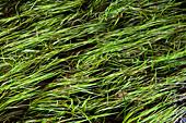 Eel-grass