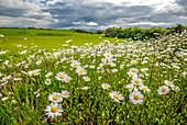 Field of Daisies , Sligo, Ireland