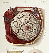 Female breast anatomy, 1866 illustration