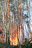 Firemen at a controlled burn of trees, Florida, USA