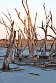 Dead trees, Lake Taarblin, Australia