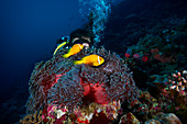 Magnificent sea anemone and reef fish with diver