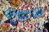 Ricordea coral polyps
