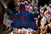 Velvet snail on a coral reef