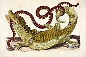 Surinam caiman, 18th century