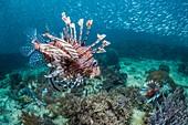 Red lionfish hunting silversides