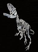 Allosaurus Fragilis Juvenile