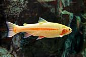 Golden Rainbow Trout (captive)