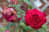 Botrytis Blight on Rose