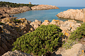Phoenician Juniper