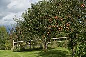 Garden apple orchard