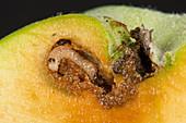 Coddling moth larva