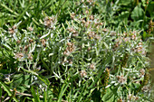 Marsh cudweed