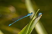 Male common blue damselfly