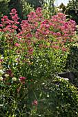 Red valerian flower