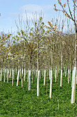 Plantation young trees