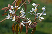 Juneberry (Amelanchier canadensis)
