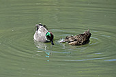 Falcated Duck (pair)