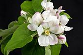 Apple king flower