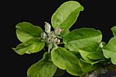 Apple flower buds