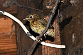 European Robin chick that has just fledged