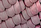 Butterfly Scales, SEM