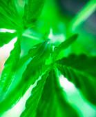 An ultra closeup of young marijuana leaves