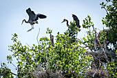 Young Herons at Play