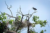 Adolescent Herons in Nest