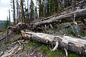 Ponderosa Pines Killed by Mt. Pine Beetle