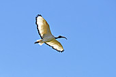 African Sacred Ibis in flight