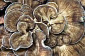 Hen of the Woods Fungus