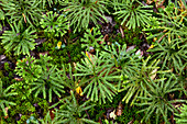 Southern Running-Pine