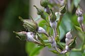 Powdery mildew on rose buds