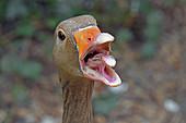 Close-up of a Greylag Goose