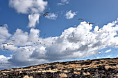 Sooty Terns on Ascension Island