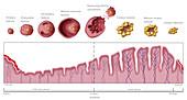 Uterine Lining and Follicles, Menstruation, Illustration