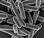 Escherichia coli, SEM