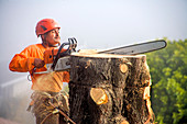 Worker cutting down tree