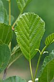 Young alder leaves